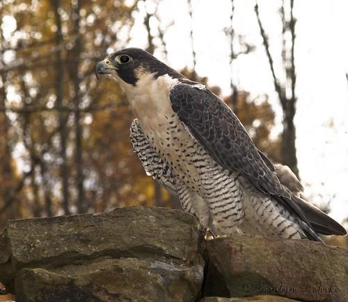 Peregrine Falcon-1
