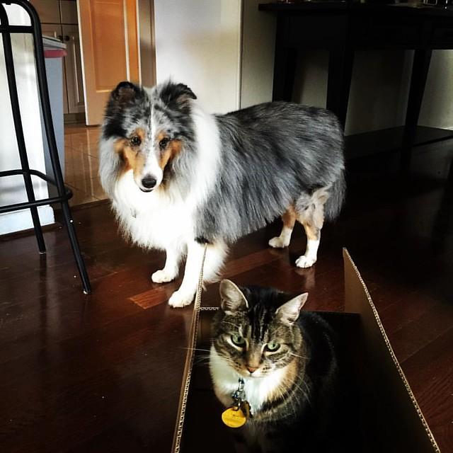 Boxed! #pets #cats #sheltiegram #sheltiesofinstagram  #sheltiepage #sheltie