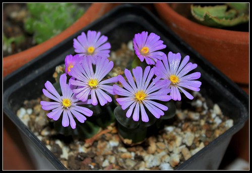 Ophtalmophyllum (2)