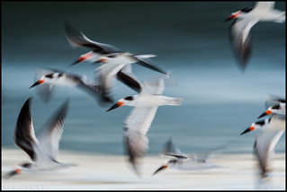 Black Skimmers @ Cape May NJ