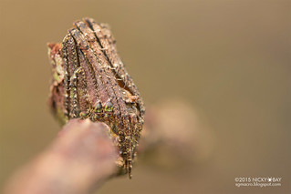 Tree-stump orb web spider (Cyphalonotus sp.) - DSC_2456