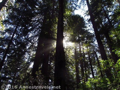 Sunshine behind the trees in the Lady Bird Johnson Grove, Redwood National Park, California