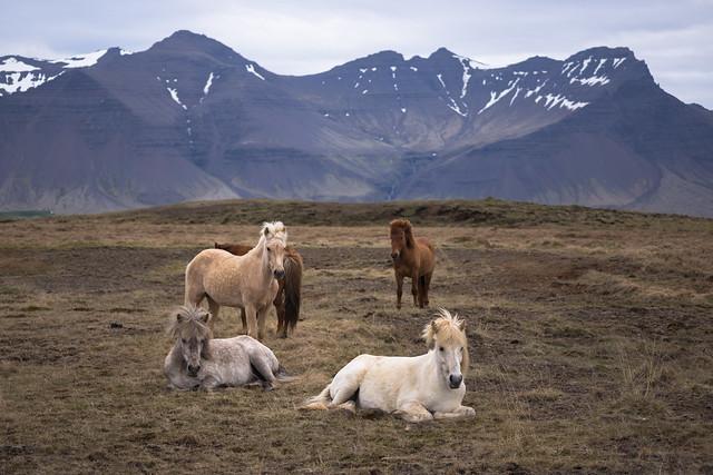 Icelandic Horses - Snæfellsnes Peninsula