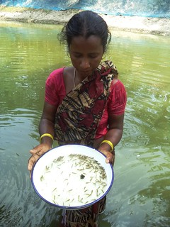 A rural woman in Sundarbans checks the status of spawn in her fisheries. (Source: NEWS)