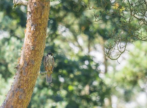 Hobby, The Lodge RSPB reserve