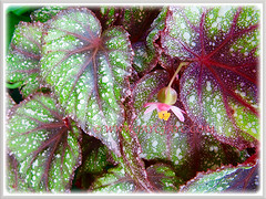Please help ID this gorgeous Begonia, shot 9 Dec. 2011
