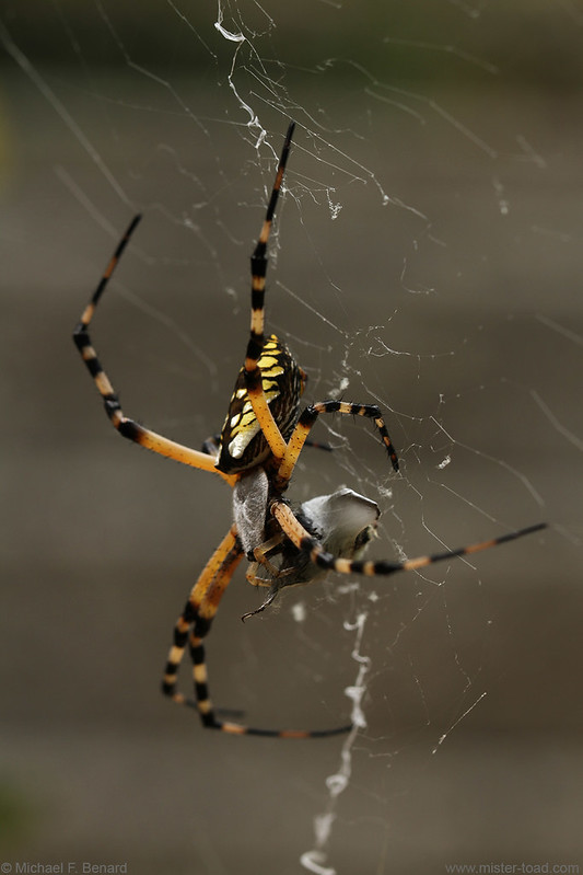 Argiope aurantia eating prey