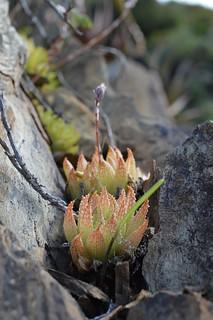 Haworthia reticulata  ハオルチア レティキュラータ