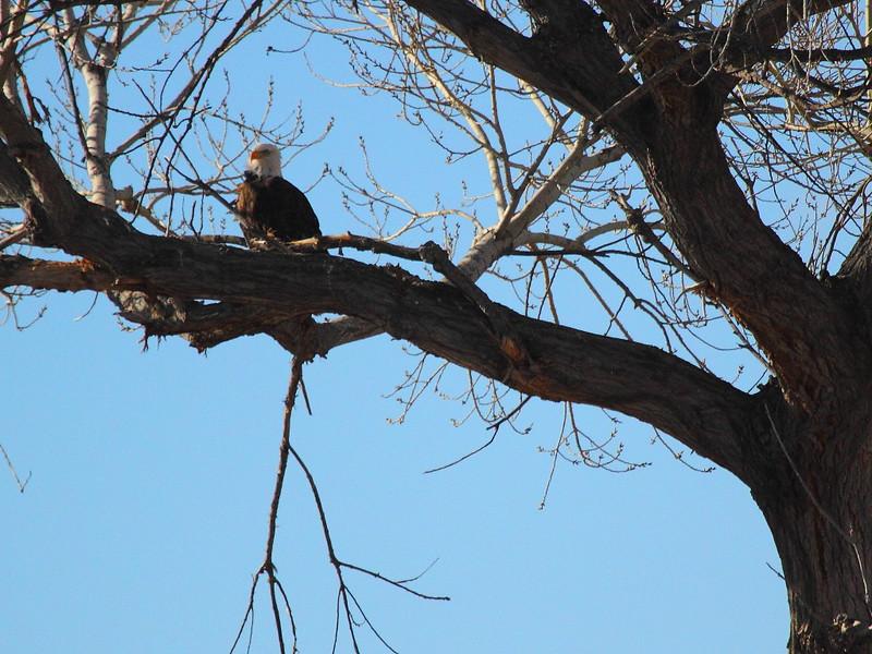 IMG_2313 Bald Eagle, Bosque del Apache NWR