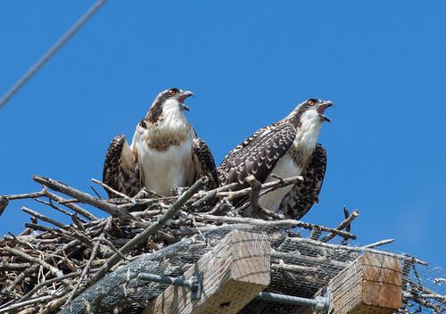 Twig's nesting Osprey