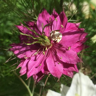 I still get a #pink one, now and then. I think this is a deeper pink than the original seeds had. #nigella