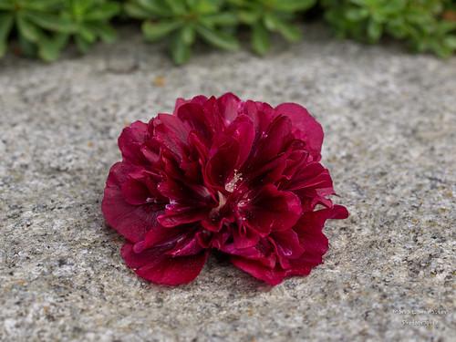 Stockrosenblüte