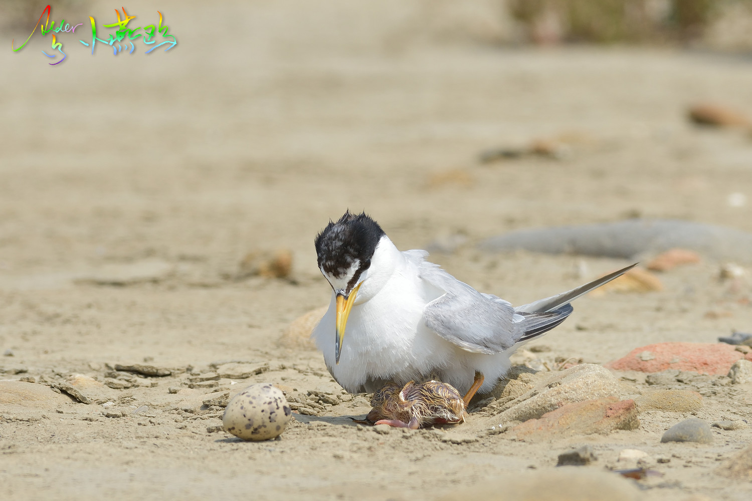 Little_Tern_5036