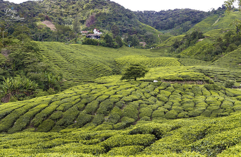cameron highlands palas tea farm view