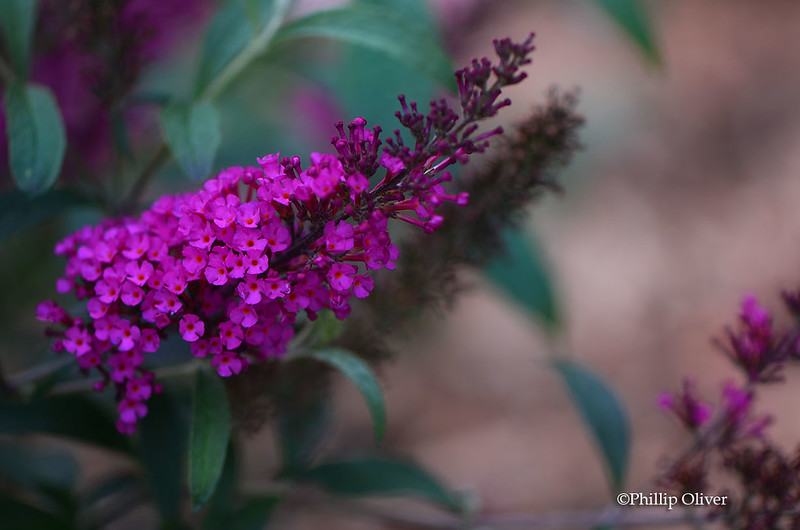 buddleia-buzz-hot-raspberry