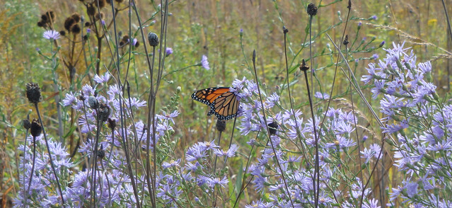 butterfly in a large clump of light-purple asters, with other flower seedheads nearby