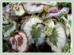 Closeup shot of Begonia 'Rex Escargot', 12 May 2013