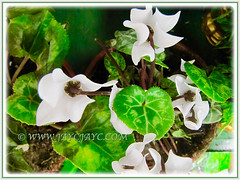 White-flowered Begonia with variegated leaves, 23 Dec. 2012