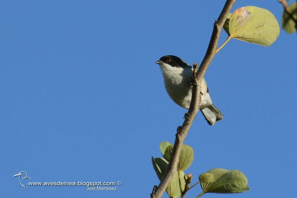 Monterita cabeza negra (Black-capped Warbling-Finch) Poospiza melanoleuca