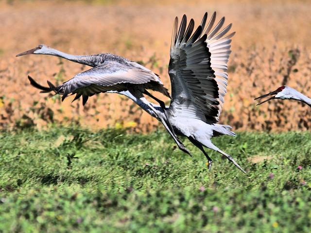 Sandhill Cranes HDR 06-20160926