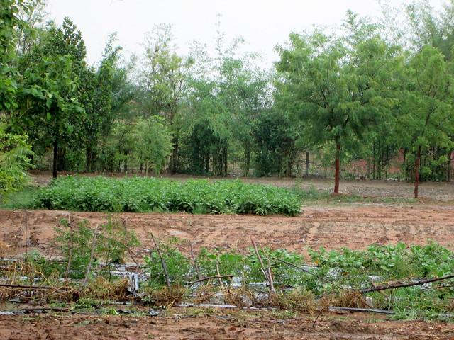 हरे-भरे बालेन्दु के खेत