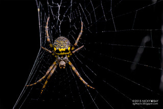Orb web spider (Gea sp.) - DSC_2773
