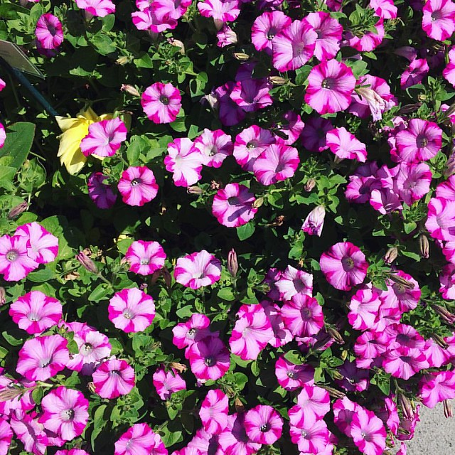 Beautiful bright petunias, spotted in Edmonds yesterday.