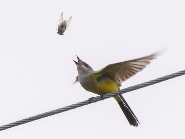 Western Kingbird eating Cicada - 1