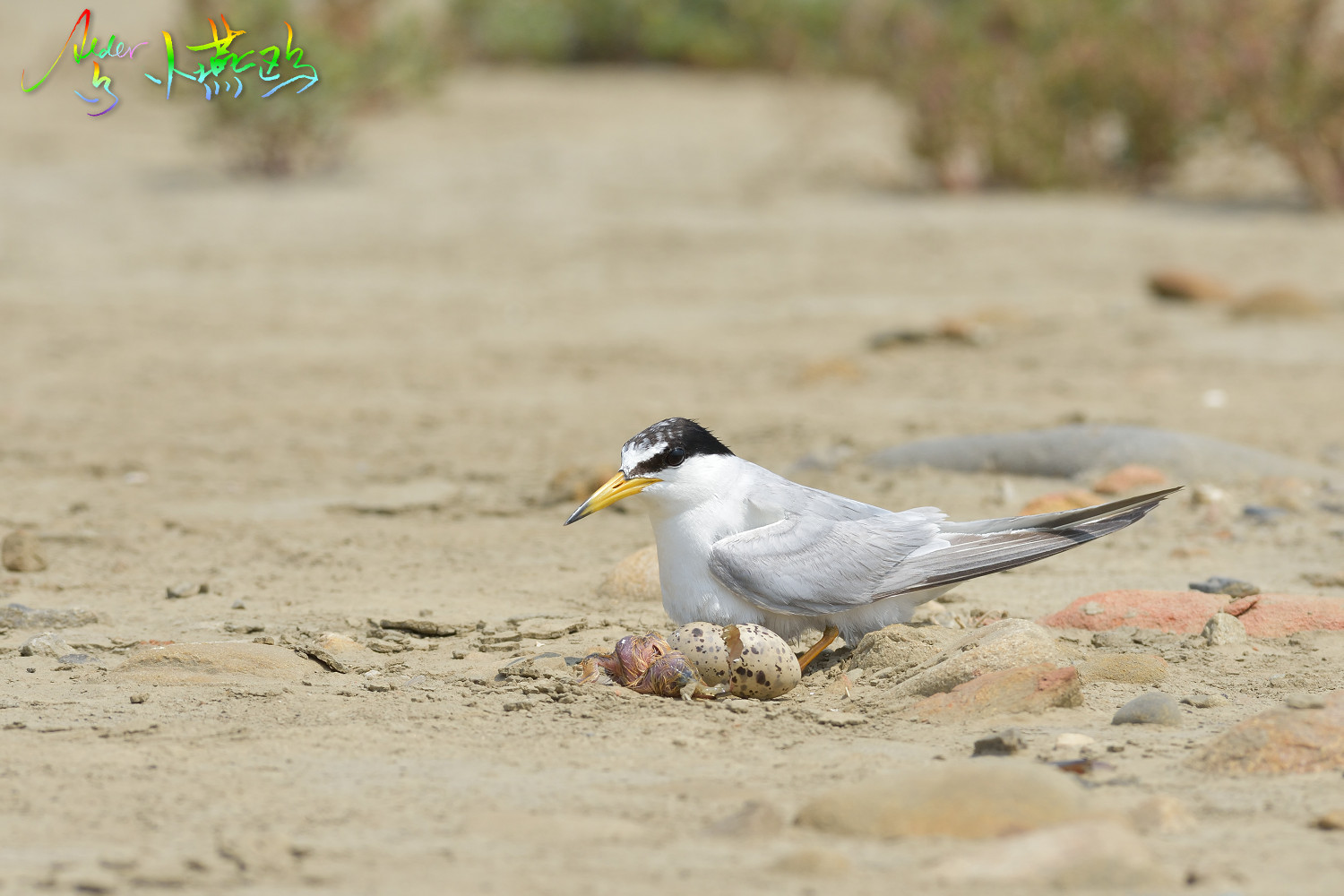 Little_Tern_4833