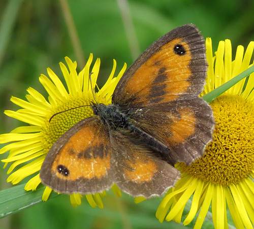 Gatekeeper Pyronia tithonus Tophill Low NR, East Yorkshire August 2016