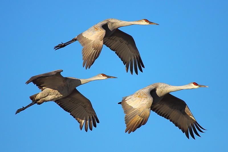 IMG_7622 Sandhill Crane, Bosque del Apache National Wildlife Refuge