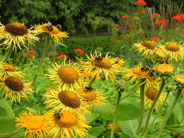 Telekia speciosa & bumblebees