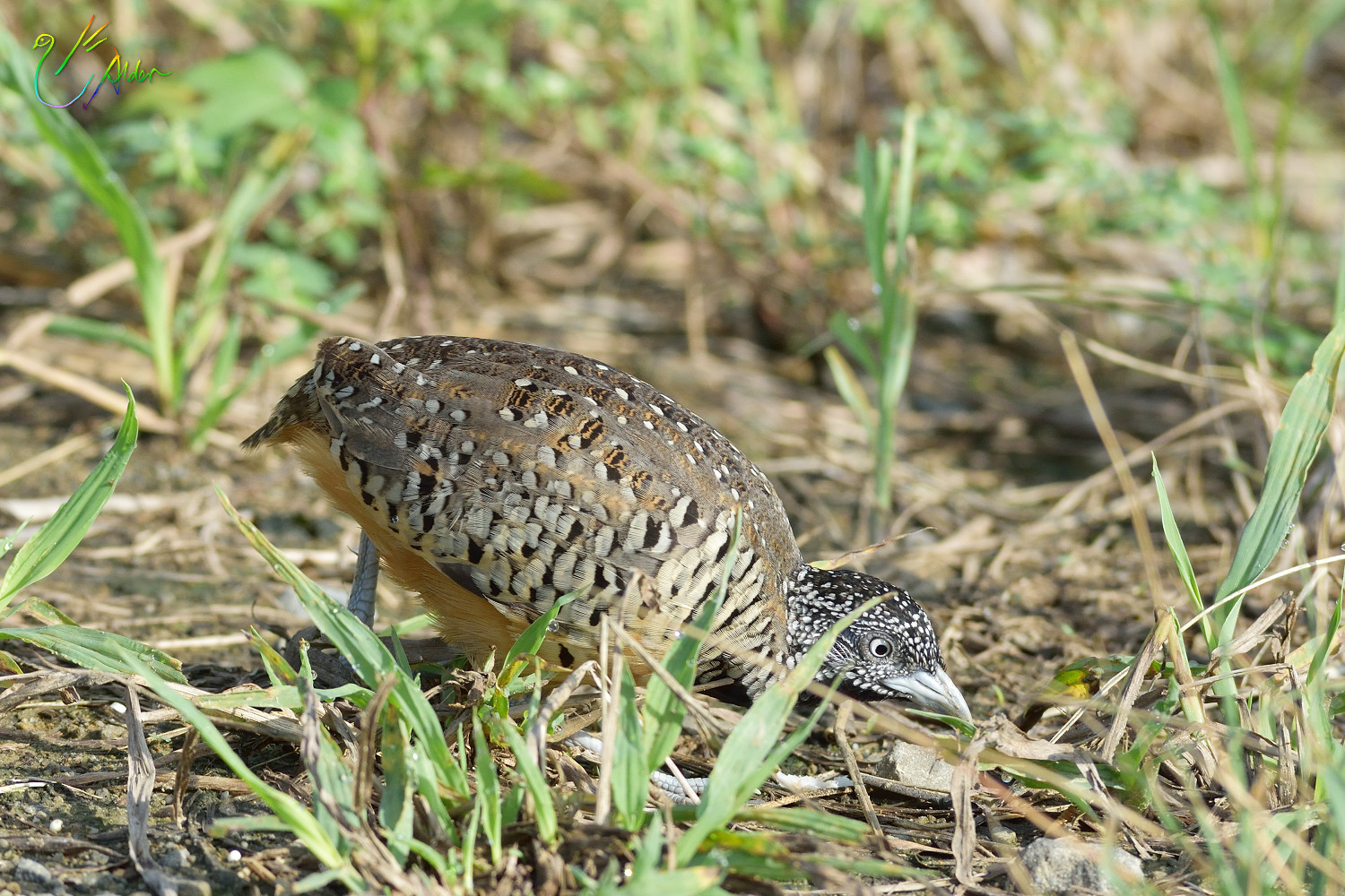 Barred_Buttonquail_1162
