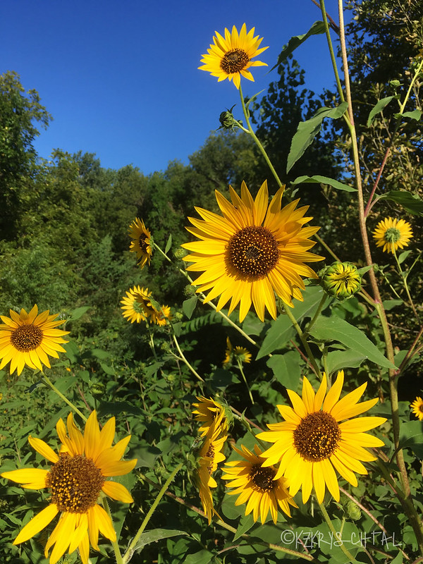 IMG_4543Sunflowers