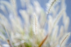 Foxtail grass in winter 2