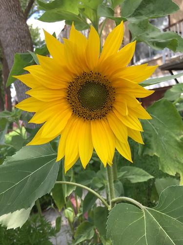 Sunflower 2016
