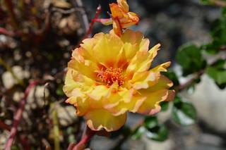DSC_0116 Portulaca grandiflora ポーチュラカ 松葉牡丹