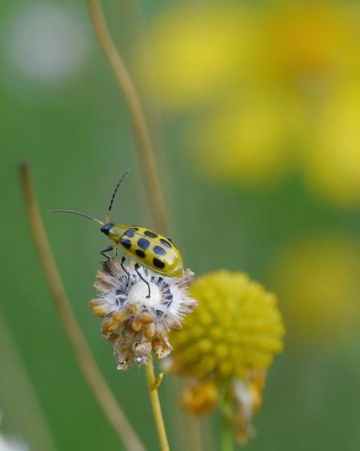 Beetle Pollinator