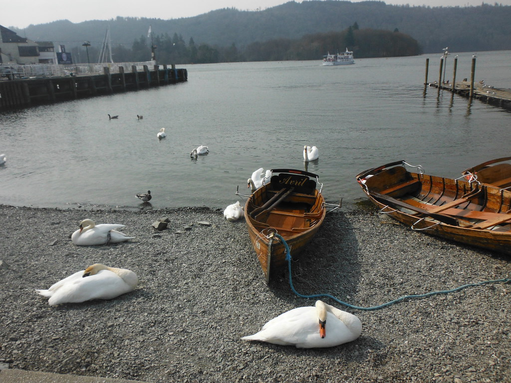 Bowness Swans 1