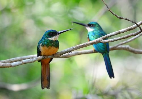 Jacamars à queue rousse/Rufous-tailed jacamar