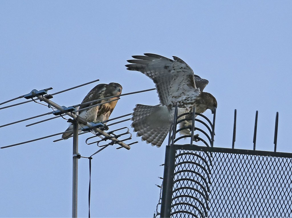 Hawk siblings playing at dusk