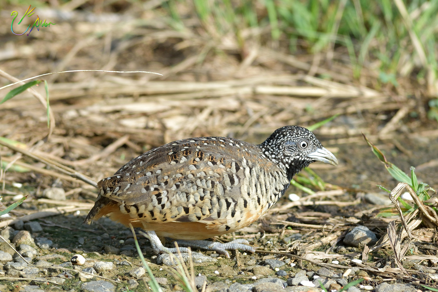 Barred_Buttonquail_1156