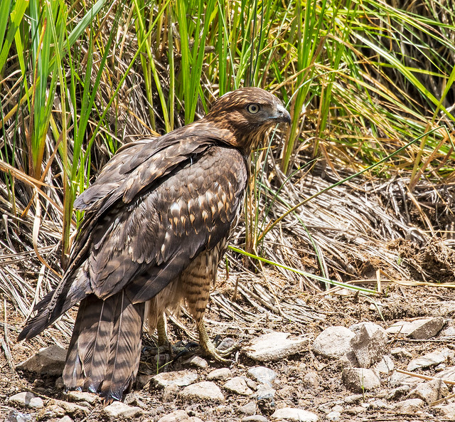 Red-tailed-Hawk-9-7D2-210716