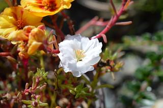 DSC_0023 Portulaca grandiflora ポーチュラカ 松葉牡丹
