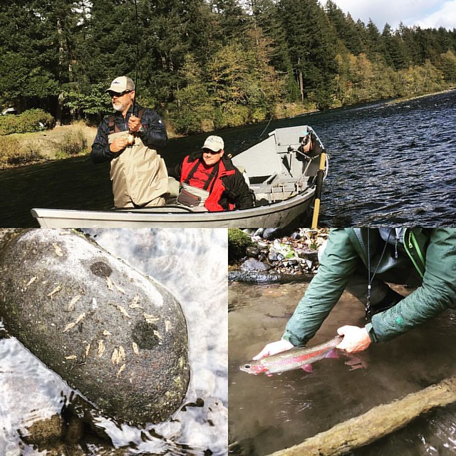 Great day on the McKenzie for our annual Two Fly Tourney. More October Caddis everyday....#oregonflyfishingblog #caddisflyshop #mckenzierivertrust #octobercaddis #sagex