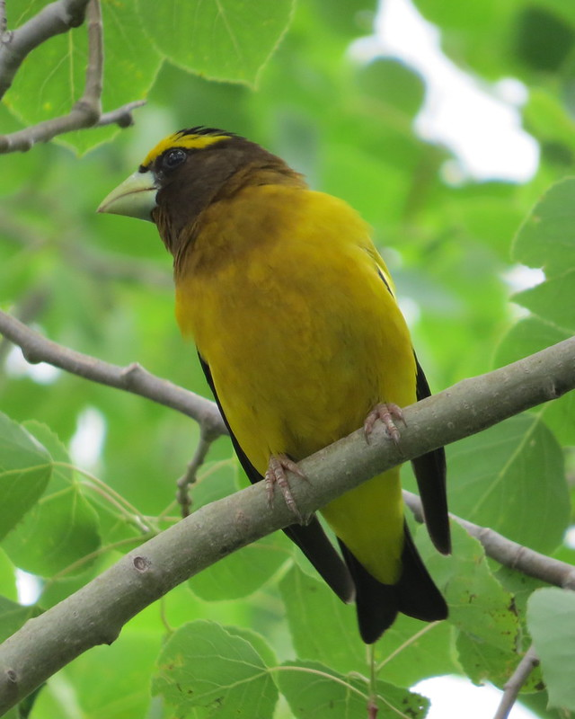 Evening Grosbeak - July 8, 2016 Marshy Hope, NS