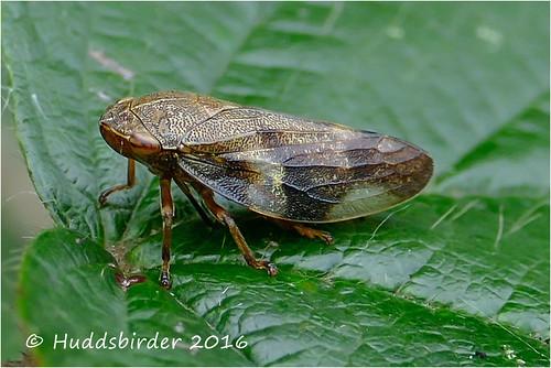 Euscelis incisus leafhopper