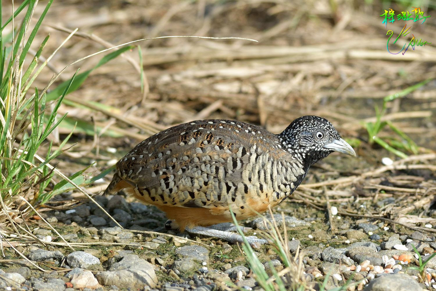 Barred_Buttonquail_1153