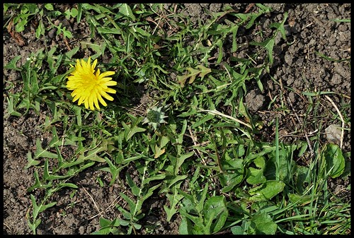 Taraxacum officinalis - groupe (1)