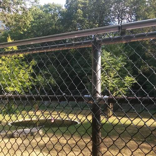 Capybaras reinforcement #toronto #highparkzoo #highpark #capybara #fence
